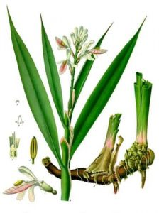 Koehlers Medizinal Planzen Alpinia officinarium Rhizome Galangal ANCHAN VEGETARIAN RESTAURANT VEGAN NAVICULA CHIANGMAI THAILAND